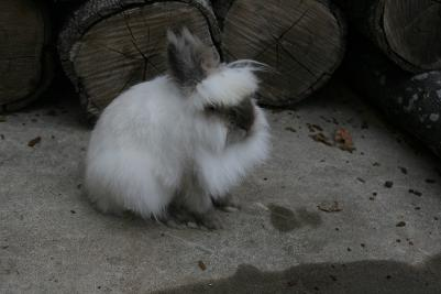 Brown and white lionhead rabbit - photo#47